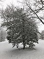 2018-03-21 08 45 31 Snow-covered American Holly along a walking path in the Franklin Farm section of Oak Hill, Fairfax County, Virginia.jpg