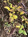 2019-12-04 11 50 58 Japanese Honeysuckle leaves in late autumn along a walking path in the Franklin Farm section of Oak Hill, Fairfax County, Virginia.jpg