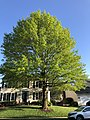 2020-05-10 18 41 35 Pin Oak leafing out in spring along Kinross Circle in the Chantilly Highlands section of Oak Hill, Fairfax County, Virginia.jpg