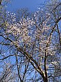 2021-03-30 11 09 14 Cherry blooming along a wooded walking path in the Franklin Glen section of Chantilly, Fairfax County, Virginia.jpg