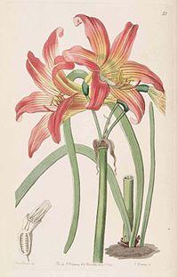 35 Rhodophiala pratensis.jpg