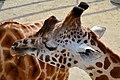 50 Jahre Knie's Kinderzoo Rapperswil - Giraffa camelopardalis 2012-10-03 14-42-48.JPG