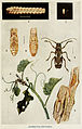 71-Indian-Insect-Life - Harold Maxwell-Lefroy - Apomecyna-pertigera.jpg