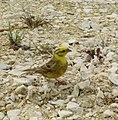 AIMG 4735 Reußenstein gelber Vogel.jpg