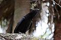 A Crow (4261687972).jpg