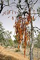 A dead Amyema pendula (Drooping mistletoe) on a Eucalyptus polyanthemos (Red Box).jpg