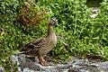 A duck in Cardiff Castle.jpg