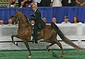 A five Gaited Horse at the 2009 Worlds Championship Horse Show (3929777639).jpg