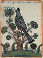 A large black and grey bird in a tree with tufted leaves (6124567939).jpg
