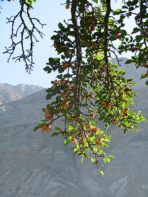 Low hanging branches of an Apricot tree full o...