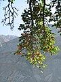 A tree full of fruits, Nubra valley, Ladakh.jpg