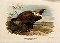 A white-shouldered eagle (Aquila adalberti). Chromolithograp Wellcome V0022220.jpg