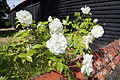 A white rose in Great Waltham, Essex, England 02.JPG