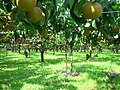 Abe Orchard 阿部果樹園 - panoramio.jpg