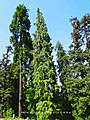 Abies pindrow India27.jpg