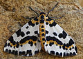 Abraxas grossulariata, Magpie Moth, Church Bay North Wales, Aug 2015 (20923161349).jpg