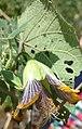 Abutilon ranadei flower.jpg