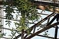 Acacia baileyana Purpurea 0zz.jpg