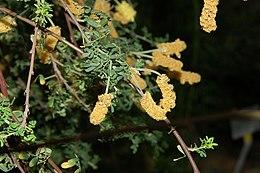 Acacia drummodii fg01