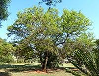 Acacia nigrescens, Pretoria NBT.jpg