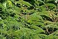 Acacia pennata in Anantgiri, AP W IMG 8797.jpg
