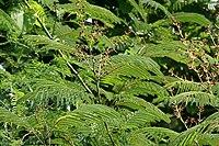 Acacia pennata in Anantgiri, AP W IMG 8797