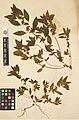 Acalypha virginica (34123961886).jpg