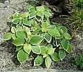 Acalypha wilkesiana3 ies.jpg