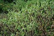 Acanthospermum hispidum W IMG 2213.jpg
