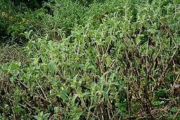 Acanthospermum hispidum W IMG 2213