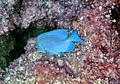 Acanthurus coeruleus (blue tang) (San Salvador Island, Bahamas) 1 (15962485708).jpg