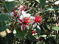 Acca Feijoa sellowiana.JPG