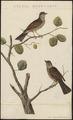Accentor modularis - 1829 - Print - Iconographia Zoologica - Special Collections University of Amsterdam - UBA01 IZ16200396.tif