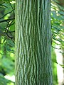 Acer davidii subsp. grosseri Klon Grossera 2011-09-11 02.jpg