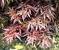 Acer palmatum 'Ben'Otake' in Auckland Botanic Gardens 02.jpg