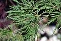 Acer palmatum var. dissectum Green Mist 0zz.jpg