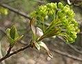 Acer platanoides RF.jpg