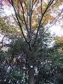 Acer rufinerve - Miyajima Natural Botanical Garden - DSC02309.JPG