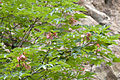 Acer trautvetteri - Caucasian Red bud maple - Kayın Gövdeli Akçaağaç.jpg
