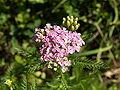Achillea roseo-alba 3.jpg