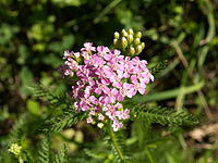 A. × roseoalba