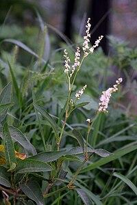Aconogonon alpinum 5