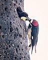 Acorn Woodpecker Feeds Baby (50197671681).jpg