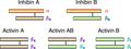 Activin inhibin.png
