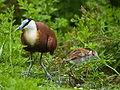 Actophilornis africana -Kakegawa Kacho-en, Kakegawa, Shizuoka, Japan -adult and chick-8a.jpg