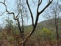 Adavi Atti (Kannada- ಅಡವಿ ಅತ್ತಿ) (3512289681).jpg