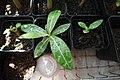 Adenium big leaf.jpg