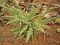 Adenocarpus viscosus 01 ies.jpg