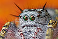Adult female Phidippus mystaceus.jpg