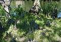 Aerial roots (38695418172).jpg
